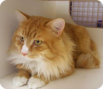 Domestic Longhair Cat for adoption in N. Billerica, Massachusetts - Bently