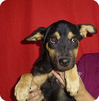 German Shepherd Dog/Labrador Retriever Mix Puppy for adoption in Oviedo, Florida - Ellie