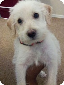Jack Russell Terrier/Chihuahua Mix Puppy for adoption in Chandler, Arizona - Scruffy