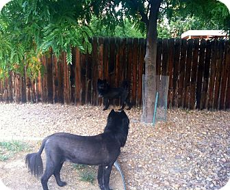Chow Chow Mix Dog for adoption in Ft. Collins, Colorado - Carlita