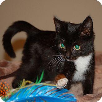 Domestic Shorthair Kitten for adoption in McCormick, South Carolina - Misty