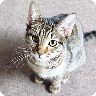 American Shorthair Cat for adoption in Raleigh, North Carolina - Trevor