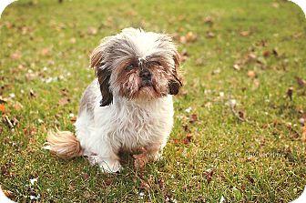 Shih Tzu Dog for adoption in Toronto/GTA, Ontario - SUZIE