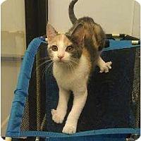 Adopt A Pet :: Chilli - Greenville, SC