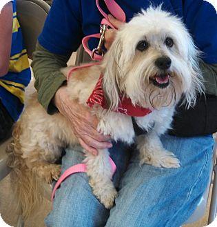 Wheaten Terrier Mix Dog for adoption in Wichita, Kansas - Hobo
