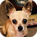 Chihuahua Dog for adoption in Long Beach, New York - Leilani