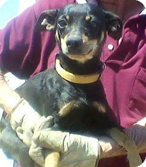 Miniature Pinscher Mix Dog for adoption in Childress, Texas - Coco