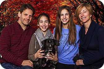Labrador Retriever/Terrier (Unknown Type, Medium) Mix Puppy for adoption in Livonia, Michigan - Rolly - Adopted 11/29/2014