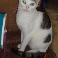 Domestic Shorthair Cat for adoption in Loganville, Georgia - Barrow