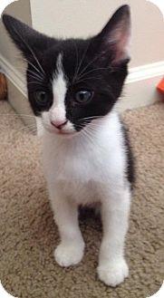 Manx Kitten for adoption in Gainesville, Florida - Gatto