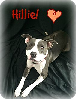American Pit Bull Terrier/Terrier (Unknown Type, Medium) Mix Dog for adoption in Bryan, Texas - Hillie