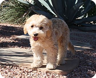 Goldendoodle Mix Puppy for adoption in Henderson, Nevada - Benji