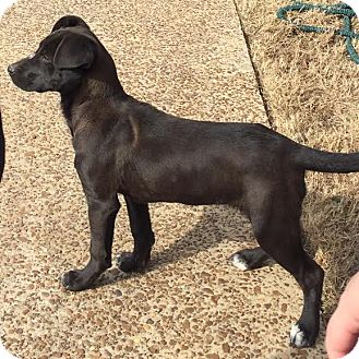 Flat-Coated Retriever Mix Puppy for adoption in CHICAGO, Illinois - Magnolia