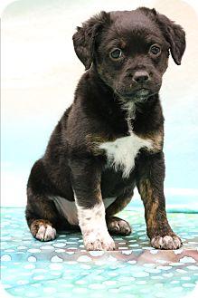Doberman Pinscher/Labrador Retriever Mix Puppy for adoption in Bedminster, New Jersey - Jubilee