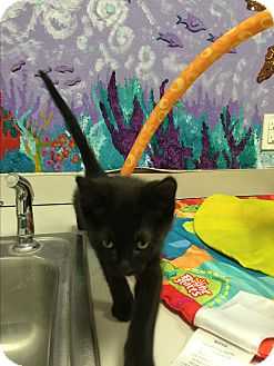 Domestic Shorthair Kitten for adoption in Twin Falls, Idaho - Fanz