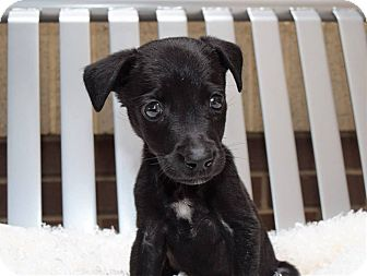Labrador Retriever Mix Puppy for adoption in Charlotte, North Carolina - Yoyo (Carowinds Litter)