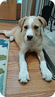 Terrier (Unknown Type, Medium) Mix Puppy for adoption in Sagaponack, New York - Benny