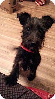 Schnauzer (Miniature)/Corgi Mix Puppy for adoption in HARRISBURG, Pennsylvania - STEVEN