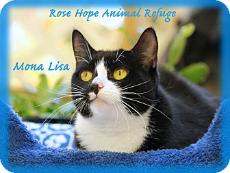 Domestic Shorthair Cat for adoption in Waterbury, Connecticut - Mona Lisa