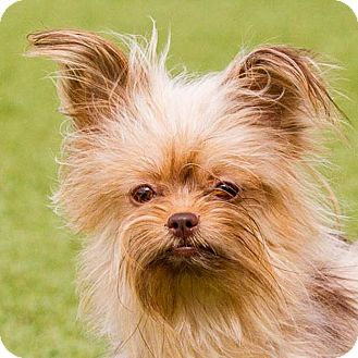 Yorkie, Yorkshire Terrier Mix Dog for adoption in Dallas, Texas - Ren