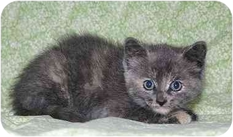 Domestic Shorthair Kitten for adoption in Ladysmith, Wisconsin - Emme