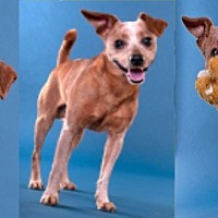Chihuahua Mix Dog for adoption in Chicago, Illinois - Pepper