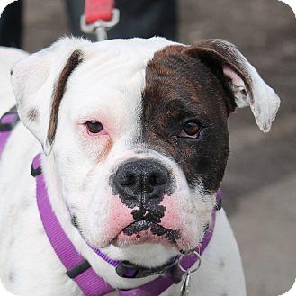 Boxer Dog for adoption in Denver, Colorado - Fred