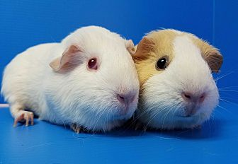 Guinea Pig for adoption in Lewisville, Texas - Luxa and Nerissa