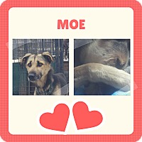 Adopt A Pet :: Moe - Jefferson, NH