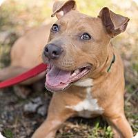 Adopt A Pet :: Buddy - Reisterstown, MD