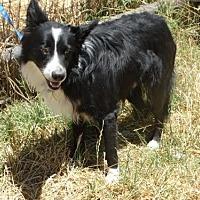 Adopt A Pet :: Sparky - Vacaville, CA