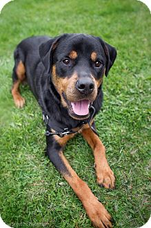 Rottweiler Dog for adoption in Rigaud, Quebec - Dayo