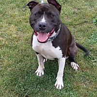 American Pit Bull Terrier Puppy for adoption in Huntington, Indiana - Sophie