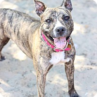 Adopt A Pet :: Paris aka Tiki - Mt Vernon, NY