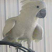 Cockatoo for adoption in Elizabeth, Colorado - Sumo Aka Goliath