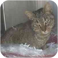 Domestic Shorthair Cat for adoption in Clinton Township, Michigan - Keta