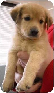 Rhodesian Ridgeback Mix Puppy for adoption in Newburgh, Indiana - Chewy
