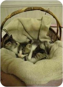 Domestic Shorthair Kitten for adoption in Stillwater, Oklahoma - Google, Bing and Yahoo