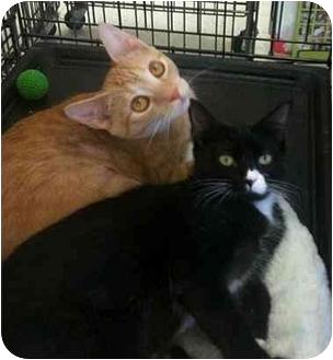 Domestic Shorthair Kitten for adoption in Sugar Land, Texas - Strauss