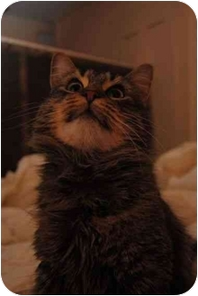 Maine Coon Cat for adoption in Worcester, Massachusetts - Mimoo