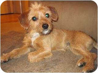 Cairn Terrier/Beagle Mix Dog for adoption in Westminster, Colorado - RENZO
