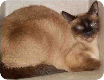 Siamese Cat for adoption in Yuba City, California - Unknown Age, URGENT!