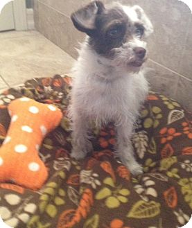Terrier (Unknown Type, Small)/Shih Tzu Mix Puppy for adoption in Oceanside, California - Darling