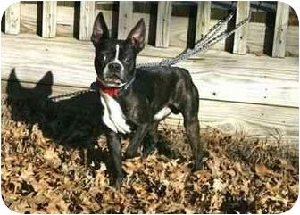 Boston Terrier Dog for adoption in Muldrow, Oklahoma - Bruno