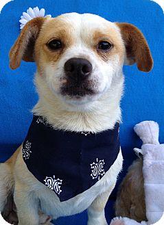 Corgi/Chihuahua Mix Dog for adoption in Irvine, California - Toad