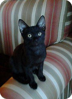 Domestic Shorthair Kitten for adoption in St. Petersburg, Florida - Othello