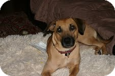 Black Mouth Cur/Labrador Retriever Mix Dog for adoption in Homewood, Alabama - Frankie