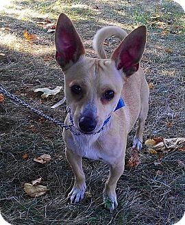 Chihuahua Mix Dog for adoption in Waldorf, Maryland - Slick
