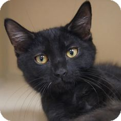 Domestic Shorthair Kitten for adoption in El Cajon, California - Baja