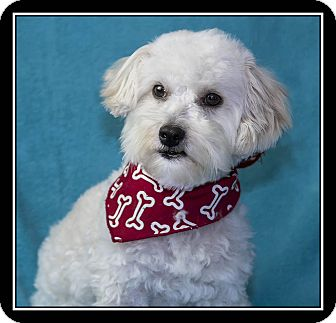 Maltese/Poodle (Miniature) Mix Dog for adoption in Covina, California - Toby